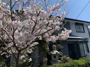 桜2-(2)