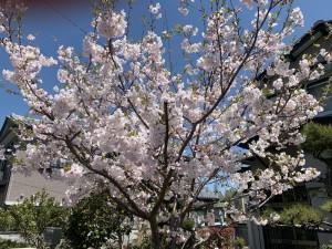 桜2-(1)